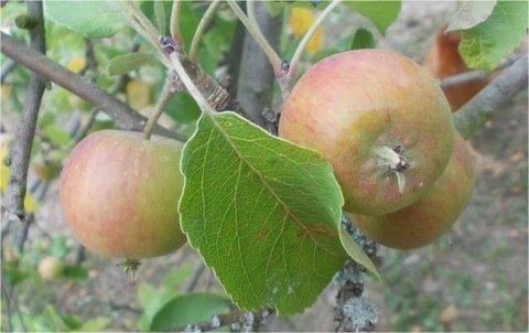 FOTKA - jablka budou letos díky suchu malá