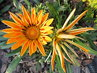 květy gazanií