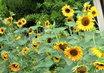slunečnice-sousedčiny