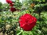 naše červená růže