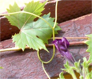 FOTKA - poupě s listem révy
