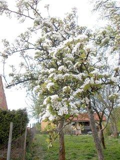 FOTKA - jarní květena hrušně