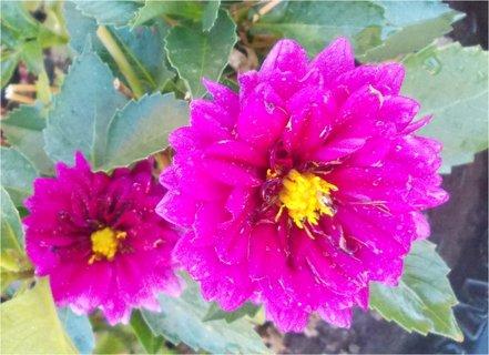 FOTKA - větší a menší květ Jiřinek