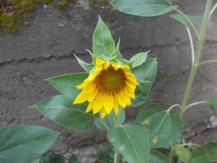FOTKA - polorozvitá slunečnice dnes