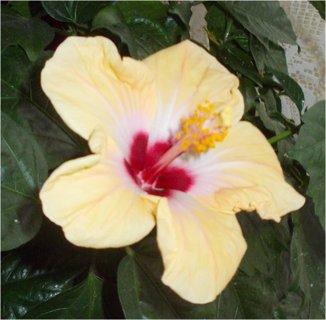 FOTKA - krásný květ Ibišku