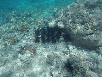 FOTKA - Mořští ježci v rudém moři