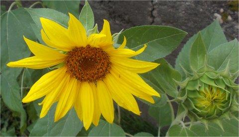 FOTKA - květ a poupě vedle sebe
