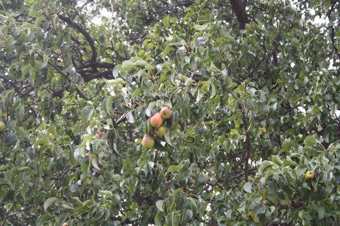 FOTKA - hru�ky na strom�.