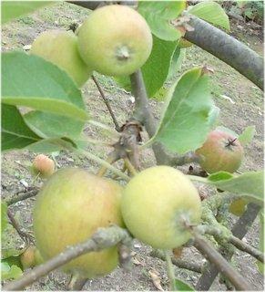 FOTKA - zimní jablíčka snad už ani nedozrají