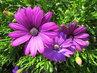 osteospermum pěkně fialové