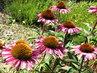 květy echinacei v srpnu