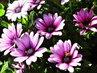 osteospermum a včelky