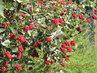 I odkvetlý zimolez zdobí zahradu 16.9. 2015