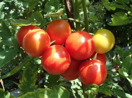 FOTKA - strapec paradajok