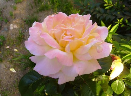 FOTKA - čajová růže