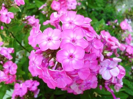 FOTKA - růžový flox