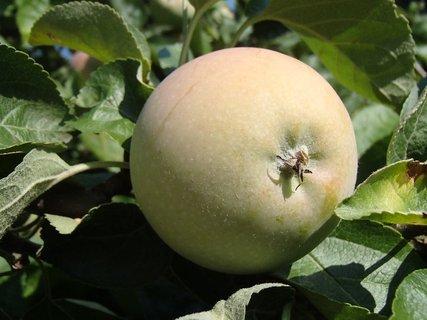 FOTKA - jedno jabĺčko