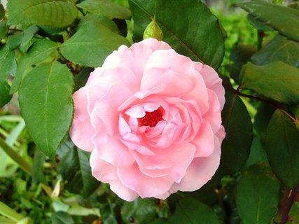 FOTKA - růžová a voňavá