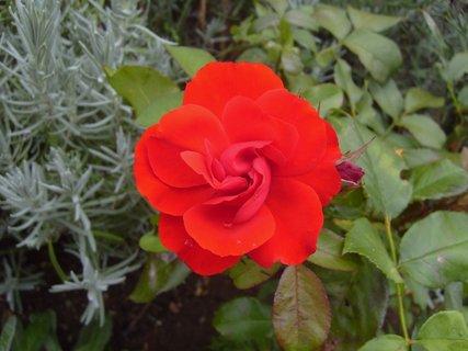 FOTKA - červená růžička