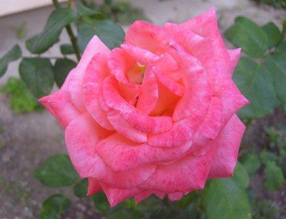 FOTKA - ..růžová