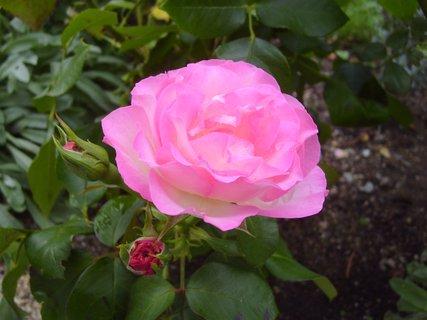 FOTKA - růžová kráska