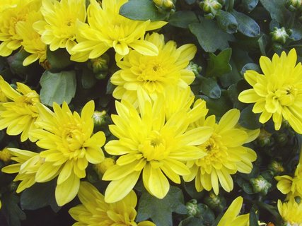 FOTKA - žl. chryzantémy