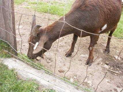 FOTKA - koza od Kolínské boudy