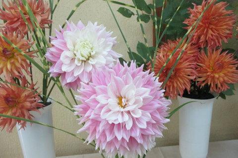 FOTKA - První jiřiny s jednoduchými květy se koncem 18. století dostaly do botanické zahrady v Madridu.