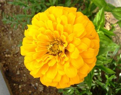 FOTKA - plnokvětá cínie  -  žlutá