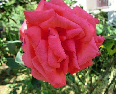 FOTKA - růže v září