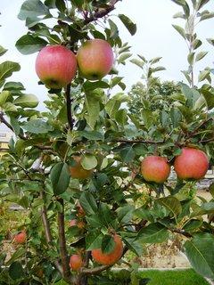 FOTKA - první úroda jablíček - James Grieve