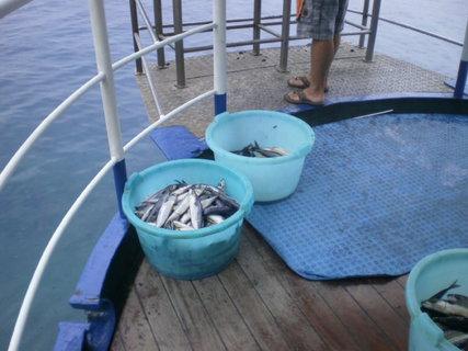 FOTKA - Makrely na rybí piknik