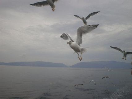 FOTKA - Kolem lodi krouží racek středomořský