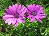 Fialové osteospermum, dva květy