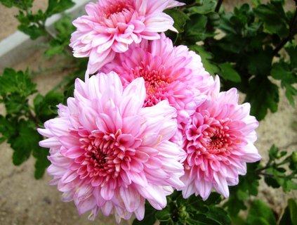 FOTKA - chryzantémy  -  růžové