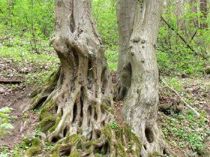 FOTKA - zajímavé kořeny stromů