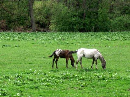 FOTKA - dva koně na louce