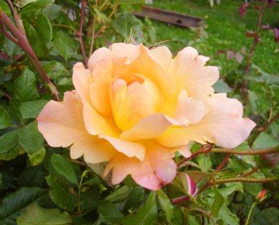 FOTKA - ..voňavá růže