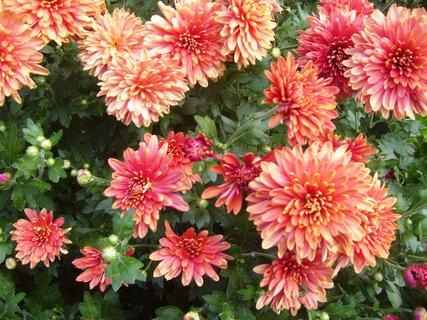 FOTKA - rozkvétající chryzantémy