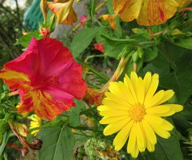 FOTKA - veselé květy na naší zahradě