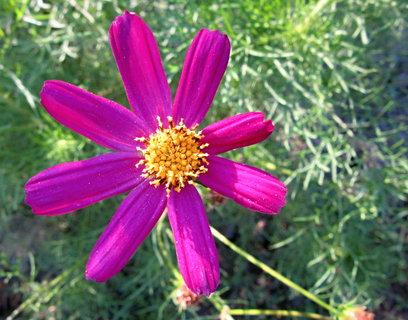 FOTKA - krásenky ještě kvetou