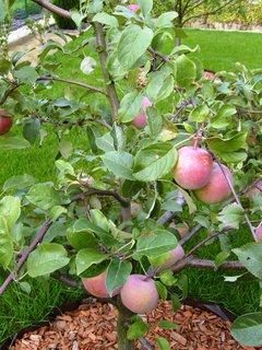 FOTKA - první úroda na jablůňce (Topaz)