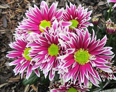FOTKA - chryzantémky se zeleným středem