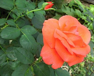 FOTKA - růže na zahradě a poupě