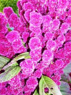 FOTKA - detail květenství laskavce