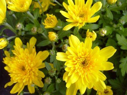 FOTKA - rozkvétající žluté chryzantémy