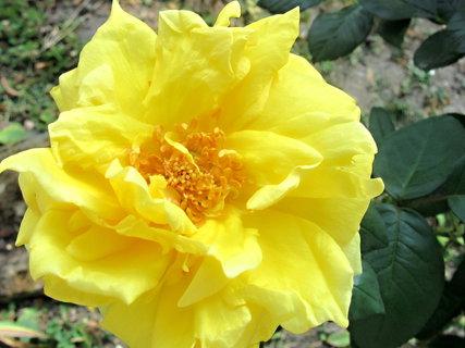 FOTKA - žlutá kráska