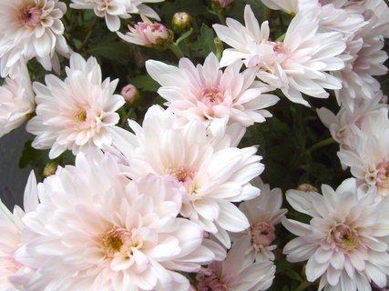 FOTKA - květy světlé chryzantémy