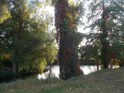 FOTKA - strom obrostlý břečtanem