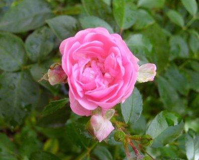 FOTKA - detail květu - růže